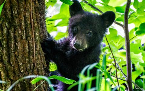 Bear Cub Climbing a Tree